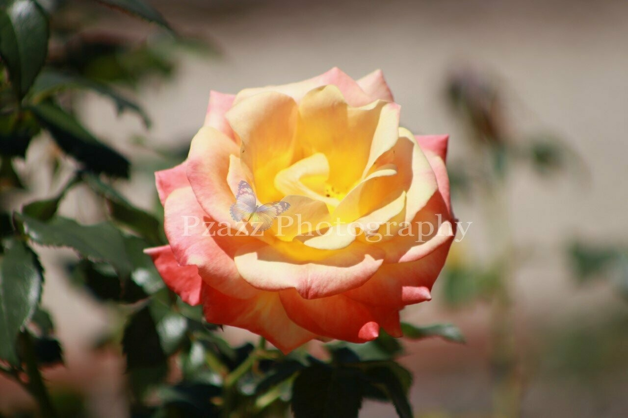 Pzazz Photography - Rose 2 - Full Drill Diamond Painting - Specially ordered for you. Delivery is approximately 4 - 6 weeks.