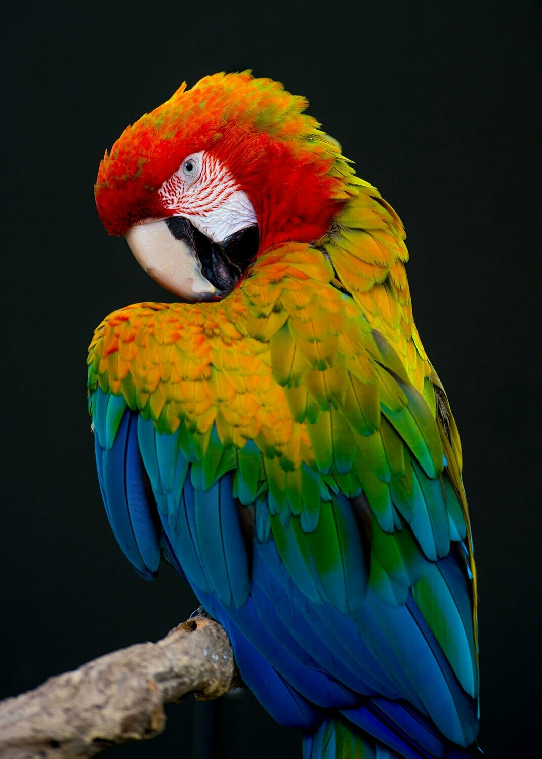 Posing Parrot - Full Drill Diamond Painting - Specially ordered for you. Delivery is approximately 4 - 6 weeks.