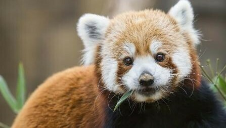 Red Panda - Full Drill Diamond Painting - Specially ordered for you. Delivery is approximately 4 - 6 weeks.