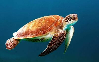 Turtle in ocean - Full Drill Diamond Painting - Specially ordered for you. Delivery is approximately 4 - 6 weeks.