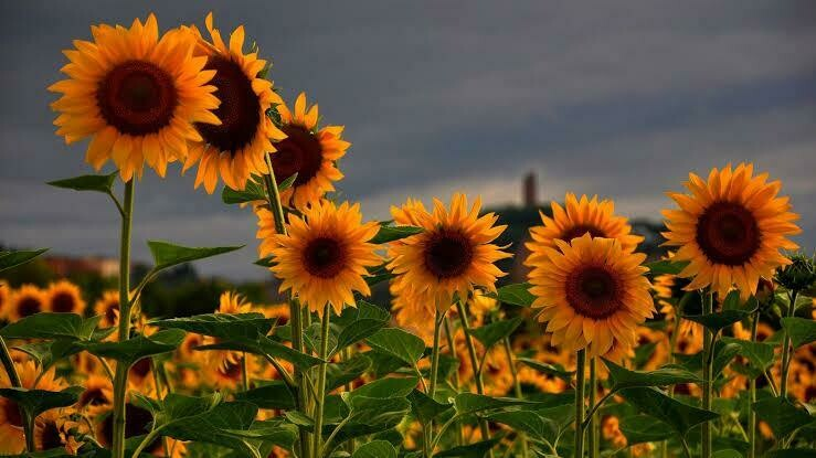 Sunflowers 02 - Full Drill Diamond Painting - Specially ordered for you. Delivery is approximately 4 - 6 weeks.