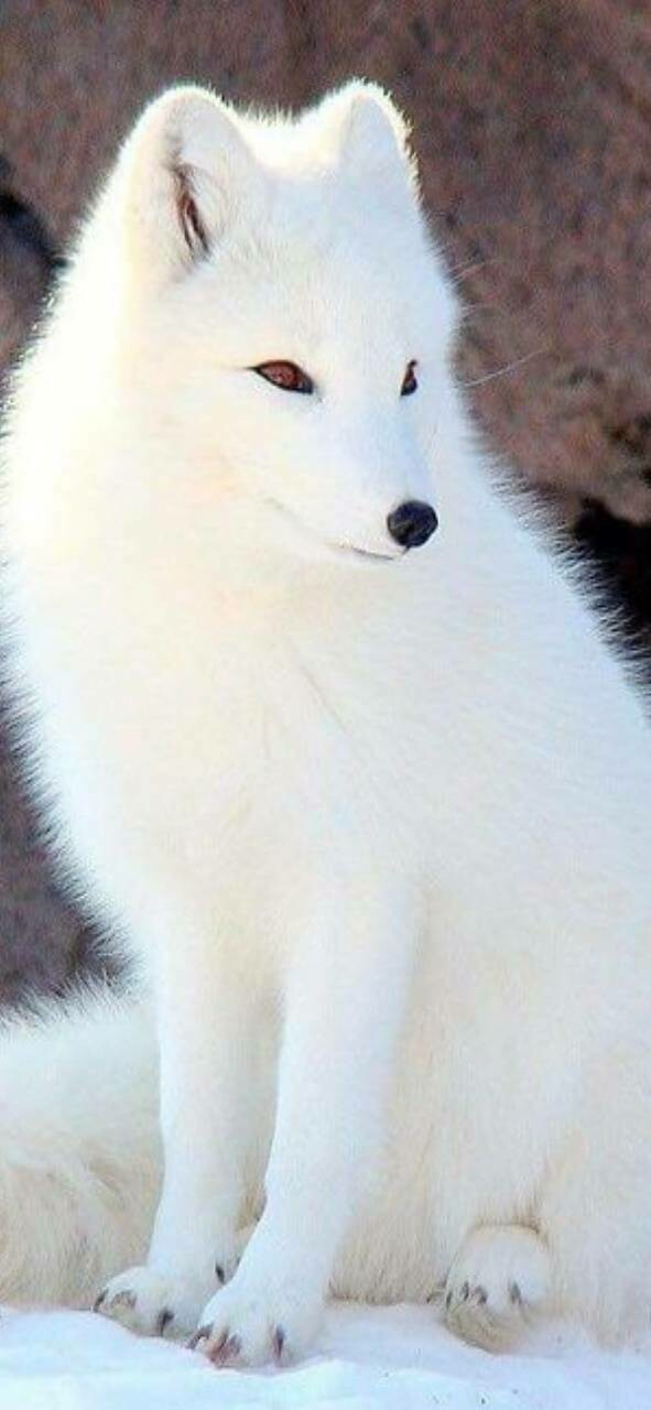 White Fox - Full Drill Diamond Painting - Specially ordered for you. Delivery is approximately 4 - 6 weeks.