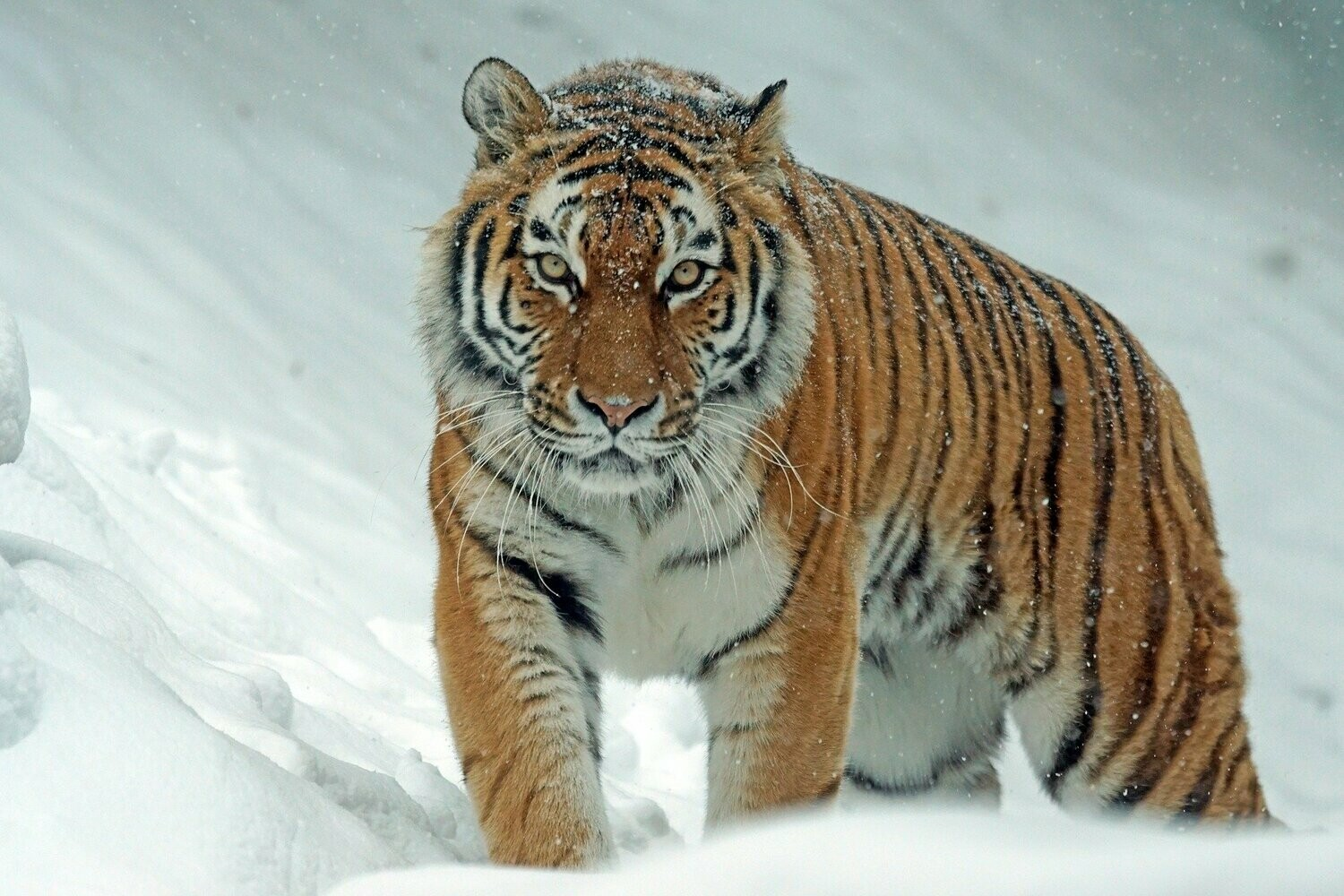 Tiger In The Snow - Full Drill Diamond Painting - Specially ordered for you. Delivery is approximately 4 - 6 weeks.