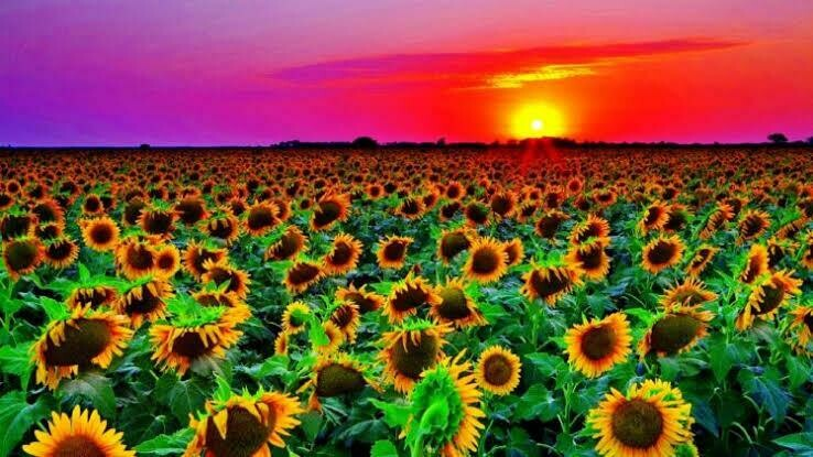 Sunflowers 04 - Full Drill Diamond Painting - Specially ordered for you. Delivery is approximately 4 - 6 weeks.