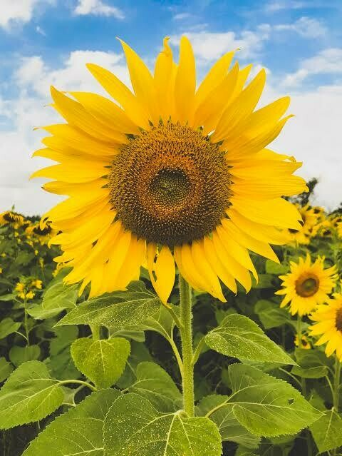 Sunflowers 01 - Full Drill Diamond Painting - Specially ordered for you. Delivery is approximately 4 - 6 weeks.
