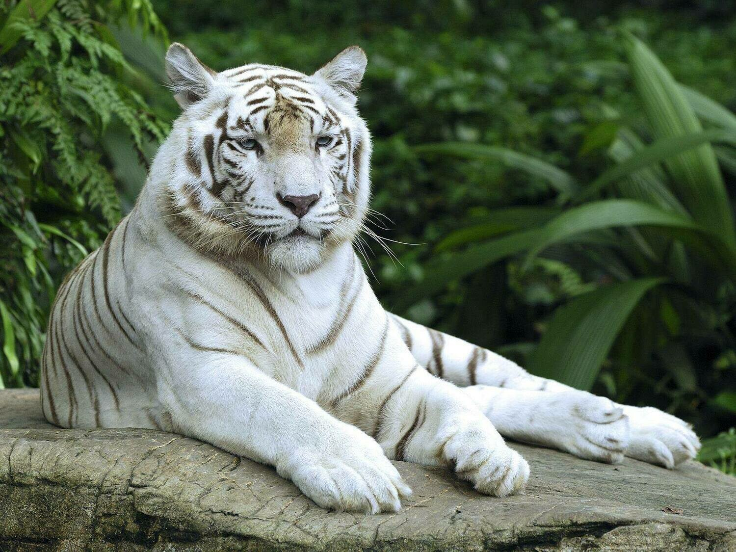 White tiger 01 - Full Drill Diamond Painting - Specially ordered for you. Delivery is approximately 4 - 6 weeks.