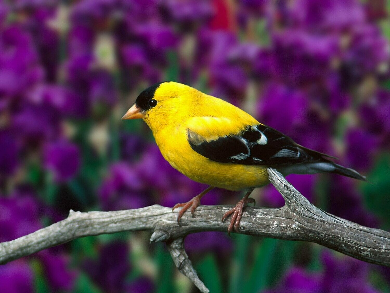 Yellow and Black Bird - Full Drill Diamond Painting - Specially ordered for you. Delivery is approximately 4 - 6 weeks.