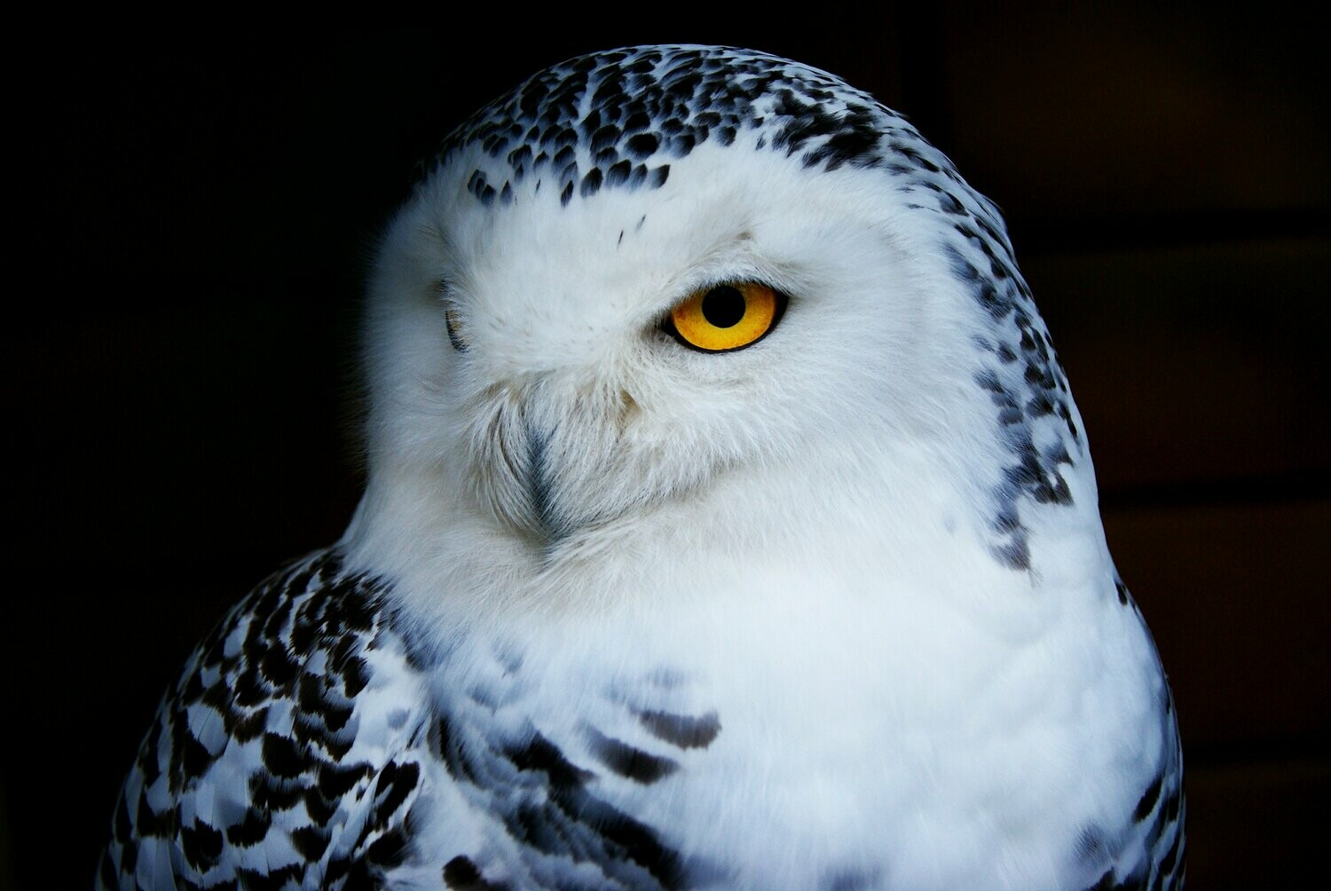 White Snowy Owl - Full Drill Diamond Painting - Specially ordered for you. Delivery is approximately 4 - 6 weeks.
