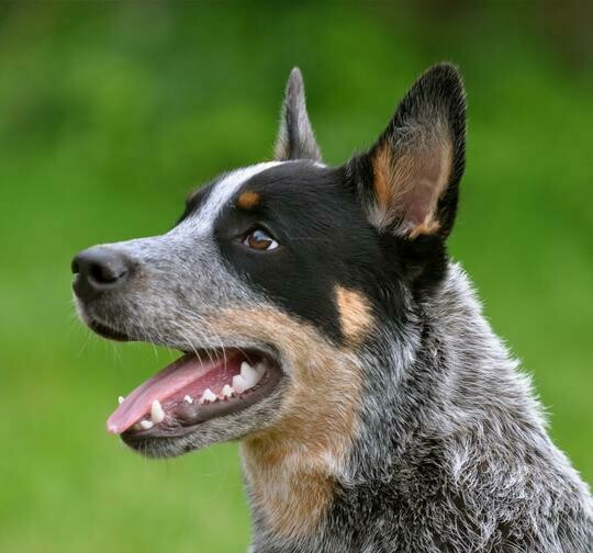 Blue Heeler - Full Drill Diamond Painting - Specially ordered for you. Delivery is approximately 4 - 6 weeks.