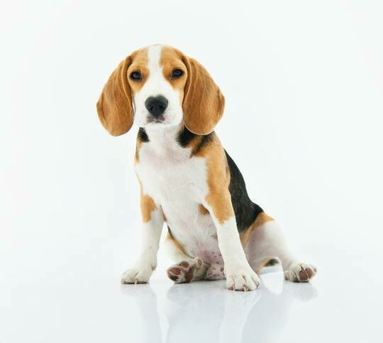 Beagle- Full Drill Diamond Painting - Specially ordered for you. Delivery is approximately 4 - 6 weeks.