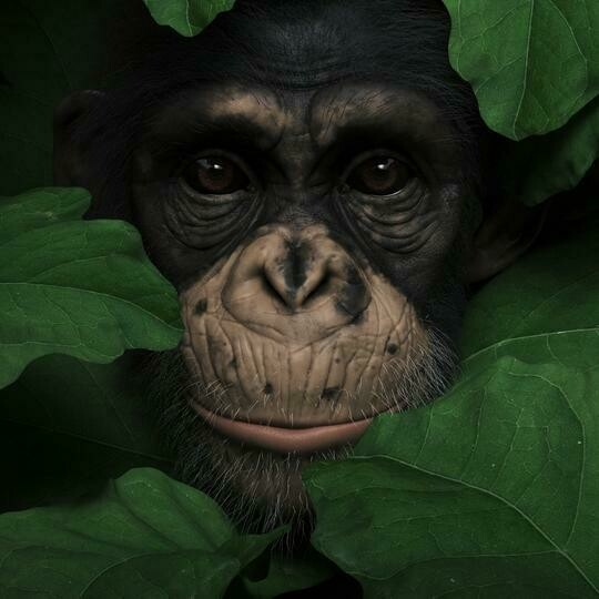 Chimp Close Up- Full Drill Diamond Painting - Specially ordered for you. Delivery is approximately 4 - 6 weeks.