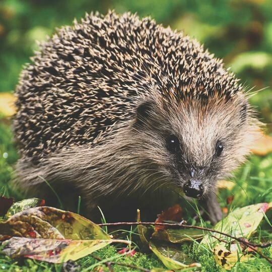 Hedgehog 03 - Full Drill Diamond Painting - Specially ordered for you. Delivery is approximately 4 - 6 weeks.
