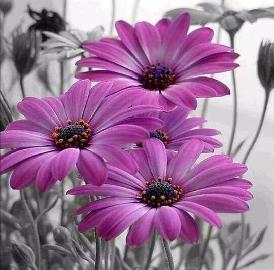 Pink Gerberas - Full Drill Diamond Painting - Specially ordered for you. Delivery is approximately 4 - 6 weeks.