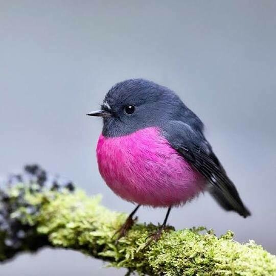 Pink And Blue Bird- Full Drill Diamond Painting - Specially ordered for you. Delivery is approximately 4 - 6 weeks.