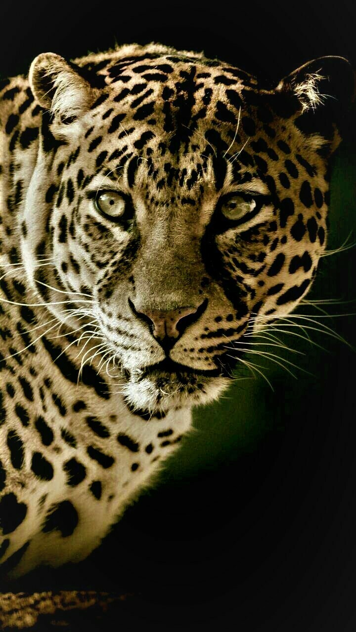 Stunning Leopard  - Full Drill Diamond Painting - Specially ordered for you. Delivery is approximately 4 - 6 weeks.