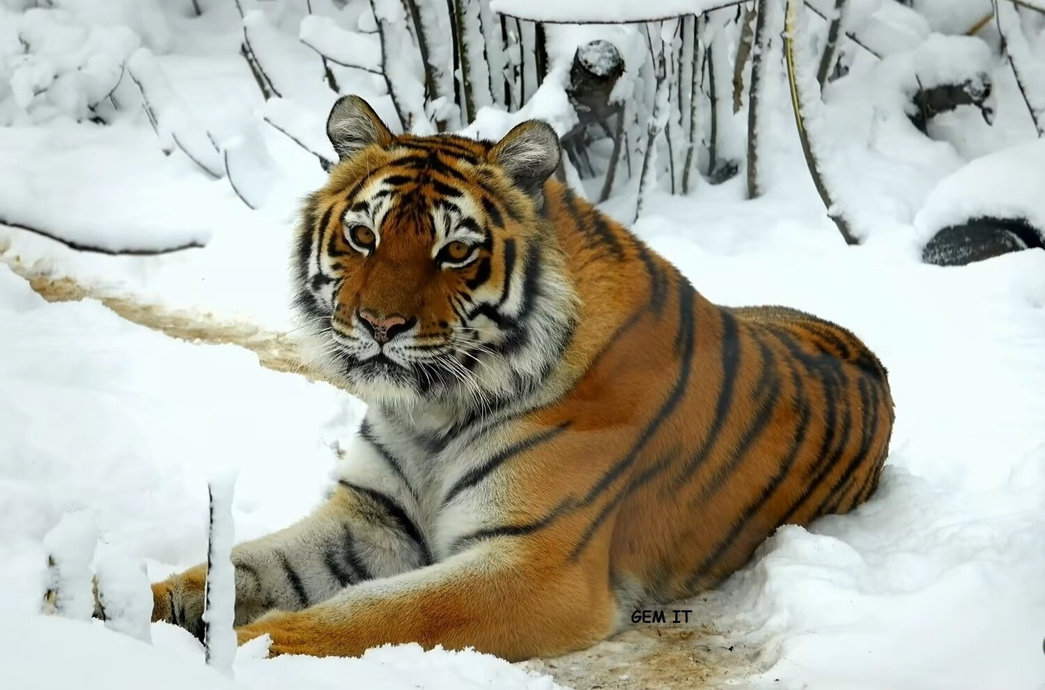 TIGER 5 (exclusive to Gem It) - Full Drill Diamond Painting - Specially ordered for you. Delivery is approximately 4 - 6 weeks.