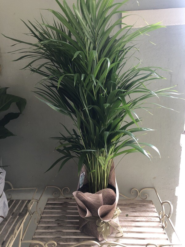 Stunning Large indoor Palm