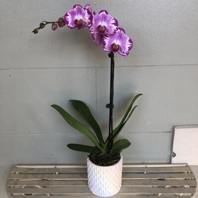 Purple Orchid in pearl pot