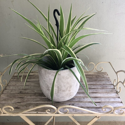 Hanging Ribbon grass Plant