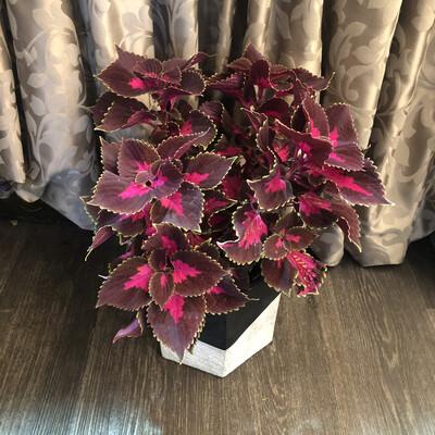 Large Coleus Plant In Ceramic pot