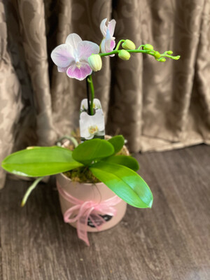 Pink Orchid in pearl pot