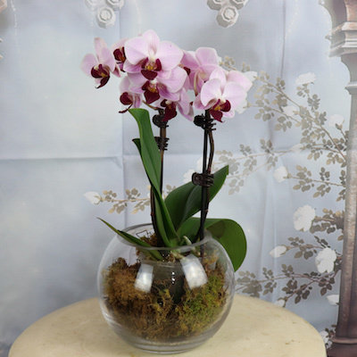 Orchid plant in glass vase