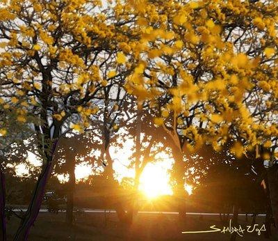 Ipês ao Pôr do Sol