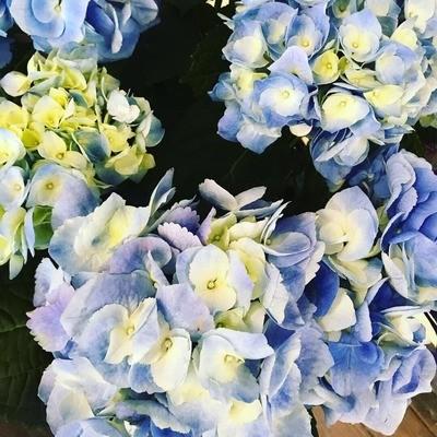 Blue Hydrangea by Twigs Florist