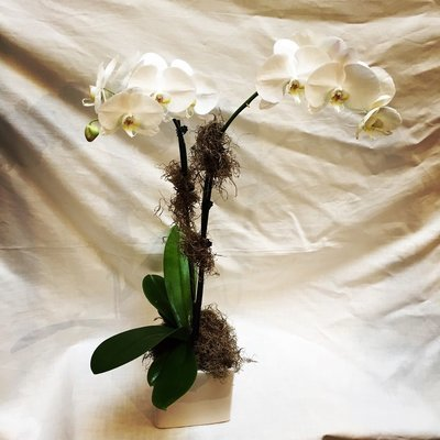 Tall Double Spike Blooming Orchid by Twigs Florist