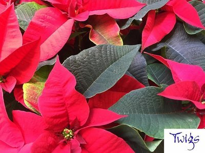 Poinsettia - Red - by Twigs Florist