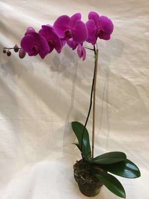 Pink Blooming Orchid by Twigs Florist