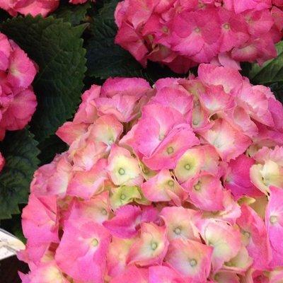 Pink Hydrangea by Twigs Florist