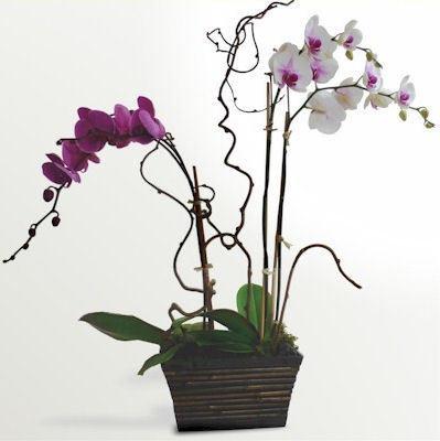 Orchid Garden by Twigs Florist