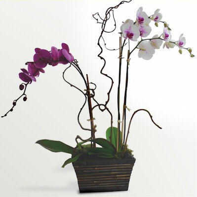 Orchid Garden by Twigs Florist