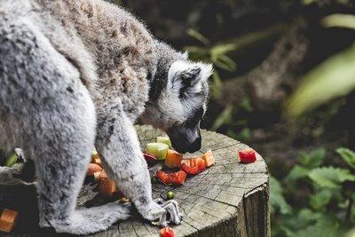 Lemur Print