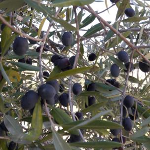 Olijfolie 5 liter. Biologisch, eerste en koude persing, ongefilterd. Abruzzo