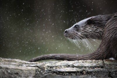 Otters' tails along the riverbank