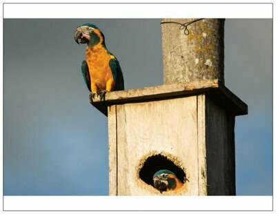 Macaw Artistry Set of 6 cards