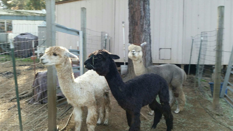 Alpaca Pet/Fiber Boys  $500.00   for all 3            SOLD