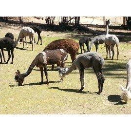 Alapaca sale                     Down Sizing herd