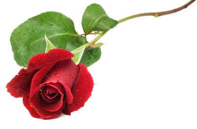 Individual Rose