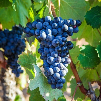 Mourvedre 450 on 1103P