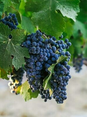 Cabernet Franc 623 on 3309C 12inch Bare-Root