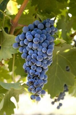 Cabernet Sauvignon 8.1 on 110R 12inch Bare-Root