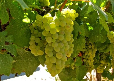 Chardonnay 548 on 101-14 12inch Super Pot