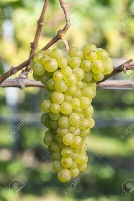Pinot Blanc 54 on 101-14 12inch Super Pot