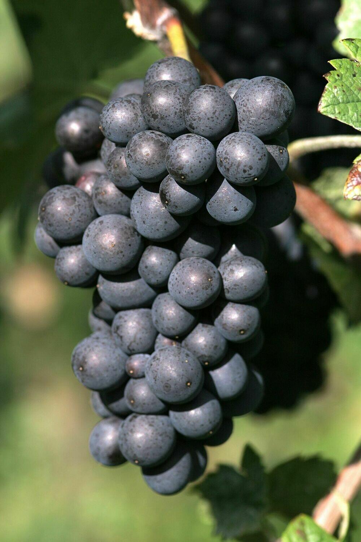 Pinot Meunier 864 on 16-16C 12inch Super Pot