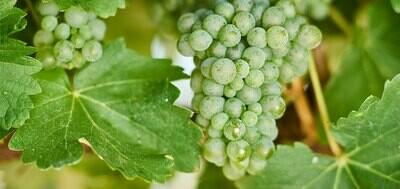 Sauvignon Blanc 530 on 101-14 12inch Super Pot