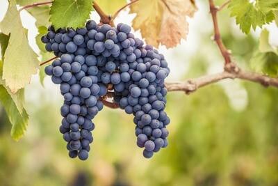 Pinot Noir GGN125 on 110R 12inch Super Pot
