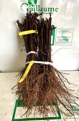 Root Stock 16-16C 'Courdec'